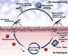 Protozoa Parasites In Humans | PARASITES