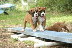Rocket Boxer Puppies - Week7