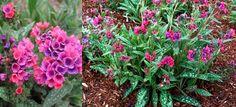 Pulmonaria 'Raspberry Splash' (Lungwort) - Stonepocket - Know What You Grow