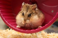 How to Make Quick and Easy Hamster Treats. These hamster treats are easy to make and your hamster will love them. They do not include peanut butter or bananas. Robo Hamster, Hamster Wheel, Chinese Hamster, Syrian Hamster, Hamster Names, Hamster Stuff, Roborovski Hamster, Guter Rat, What Motivates Me