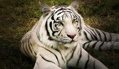 エカテリンブルグの動物園で、3頭のホワイトタイガー誕生: The Voice of Russia