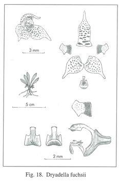 Dryadella fuchsii