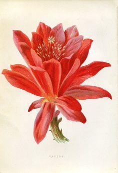 Antique Original Original Coloured Bookplate Color Book Plate Vintage Print E. Hulme Familiar Garden Flowers 1900 Cactus