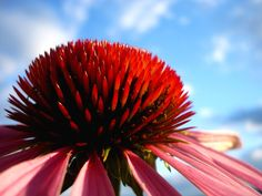 The benefits of Echinacea and Goldenseal.