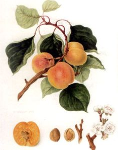Dibujos frutas