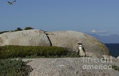The famous Boulders Penguin Colony in Simons Town is home to an adorable and endangered land-based colony of African Penguins. This colony is one of only a few in the world, and the site has become famous and a popular international tourist destination.
