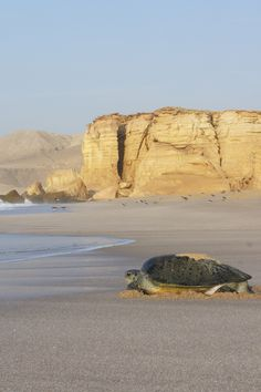 Turtle waching, Ras al Jinz.  photo: Eric in Oman