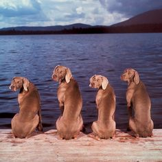 William Wegman's Weimerwhatevers. Just cute.
