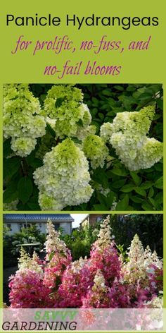 Panicle hydrangeas provide prolific, no-fuss, and no-fail blooms. Discover 3 of our favorite Hydrangea paniculata varieties. (AD)