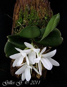 Aerangis fastuosa Exotic Flowers, White Flowers, Beautiful Flowers, Orchid Flowers, Plante Carnivore, Orchid Care, Garden Plants, All The Colors, Cactus