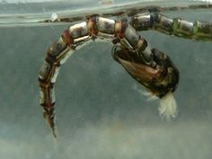 Fly Fishing Chironomids