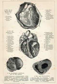 Antique German Anatomical Engraving of the Human Heart | 1894