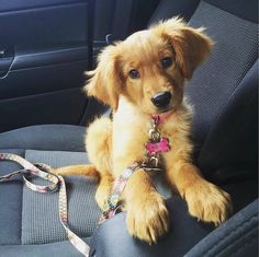 """""""Golden Irish Setter Puppy""""by Amazing Things in the World"""
