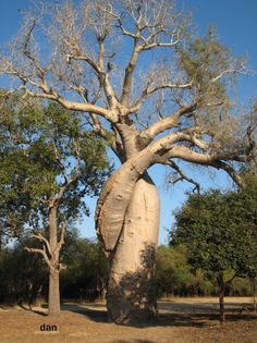 Baobab Tree, called The Lovers