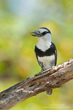 White-necked Puffbird (Notharchus hyperrhynchus) Panama, Central America and northern South America