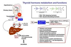 major pathways in thyroid hormone synthesis - Google Search