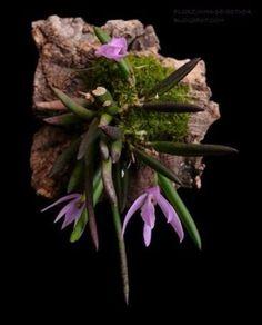 mini orquídea leptotes unicolor
