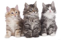 What Furry Animal Are You? - It's time to meet your fluffier version. - I got Norwegian Forest Cat!