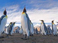 Os humanos estão proibidos de se aproximar a menos de 5m de distância dos pinguins, para não assustarem os animais  Foto: The Grosby Group