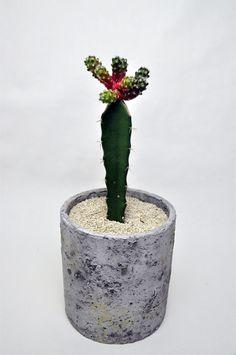 Grafted Cactus, Cactus Y Suculentas, Cacti, Planter Pots, Succulents, Birthday Parties, Gardening, Flowers, Gardens