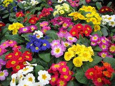 Primrose Flower Images, Flower Pictures, Part Sun Perennials, Shade Perennials, Primroses, What Is Meant, Big Leaves, Welcome Spring, Edible Plants