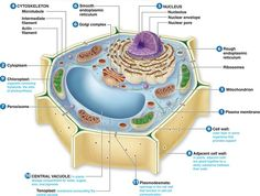 Biology pictures plant cell diagram homeschool helps pinterest plant cell structure publicscrutiny Image collections