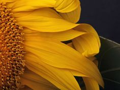 sunflower-oregon-Brilliant-photography-from-Natgeo-archives