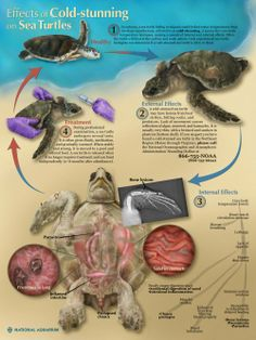 Illustrating the Effects of Cold-Stunning on Sea Turtles