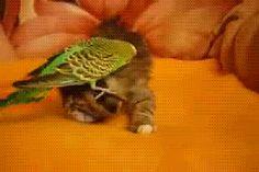 Hey mira mi sombrero { GIF } #amigos #animales #gatos