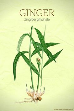 The Herb Ginger Root (Zingiber officinale)