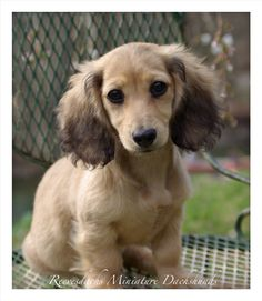 Beautiful English Cream Long Hair Mini Dachshund