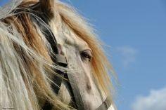 All sizes | Gypsy stallion | Flickr - Photo Sharing!
