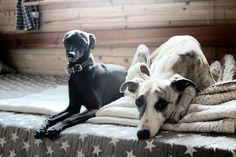 Harley (italian greyhound) and Bastiaan (whippet)