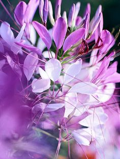 Cleome..A perfect cottage-garden plant, cleome bears spikes of fragrant flowers in shades of white, pink, magenta, and purple. It's so easy, it practically starts itself -- in fact, in many gardens it self-seeds year after year.