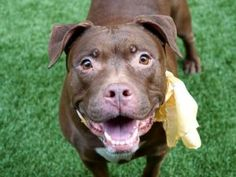 SUPER URGENT 2/08/18 COCO – 20140 (ALT ID – A0924593) **RETURNED 2/8/18** Intake Date : 2/8/18 Intake Type: Owner surrender Medical Behavior: Blue, Age: 7 years Sex: Spayed female Weight: 65 lbs DVM Intake Exam; Estimated age:7 years; History :previously adopted from MACC in 2012 but owner had to surrender as he recently had hand and back surgery and cannot care for her; Subjective:BAR; Observed Behavior -energetic and friendly.