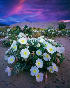 First Light, Primrose and Dunes  Death Valley National Park, California,