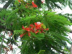 2014.06.05 - Colombo - Diyatha Uyana - Albero dei fiori di maggio