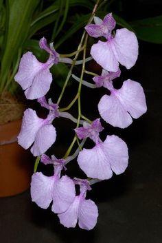 #Orchid - Comparettia macroplectron    http://dennisharper.lnf.com/