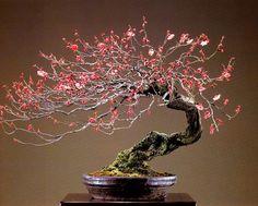 A beleza do Prunus Mune(DamasqueiroJaponês) | Aido Bonsai