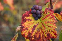 Couleurs automnales - Photographies Patrick Jassiones Champagne, Fruit, Photographs, Landscapes, Colors, The Fruit