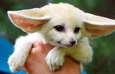fennec fox!