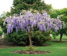 Bolusanthus Speciosus Tree Wisteria