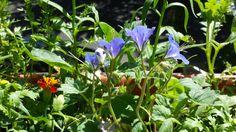 Blumenwichtel von Susanne - Irgendwas lilafarbenes glockiges.