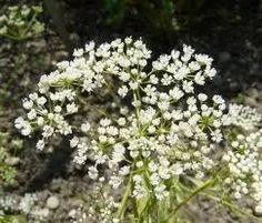 sementes de erva doce anis pimpinella anisum erva aromática