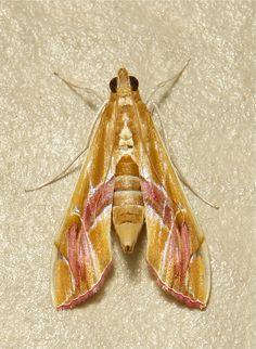 https://flic.kr/p/f7HfaR | Crambid Moth (Agathodes ostentalis, Crambidae) | Pu'er, Yunnan, China