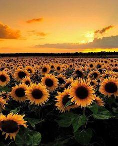 gelbe Sonnenblumen und Himmel – Bilder – … yellow sunflowers and sky – Pictures – …,