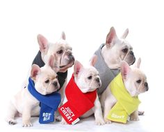 French Bulldogs in winter scarves.