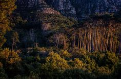 Newlands Forest sunrise.