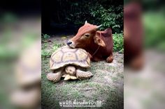 Baby Cow And Giant Tortoise Are Obsessed With Each Other