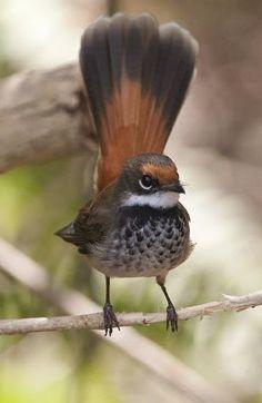 オウギビタキ (扇鶲)  Rufous Fantail (Rhipidura rufifrons) Colorful Feathers, Bird Feathers, Beautiful Butterflies, Beautiful Birds, Wildlife, Conscience, Nature, Hummingbirds, Pictures
